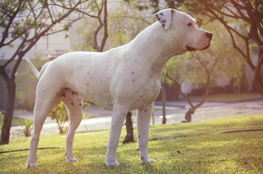 Аргентинский дог - характеристика породы, уход и содержание, чем кормить, отзывы владельцев, фото собаки