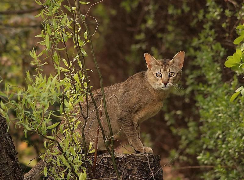 Топ 5 самых агрессивных пород кошек в мире — 4 лапки