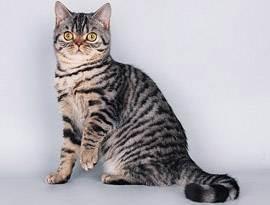 Можно ли скрещивать вислоухую кошку с вислоухим котом, с кем вязать шотландскую кошку?