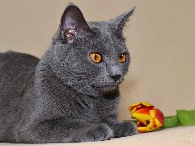 Самые долгоживущие породы кошек ~ коточек