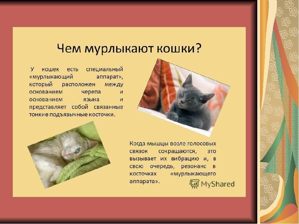 Почему кошки мурлыкают: как они это делают, когда засыпают