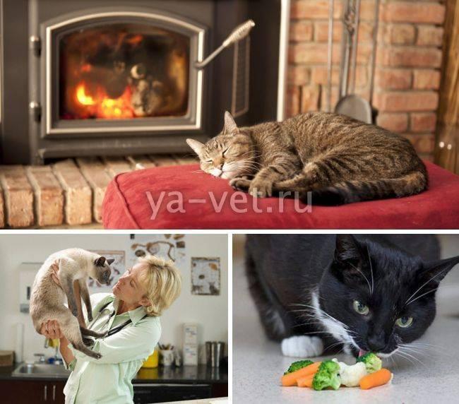 Простуда у кошек и котов: симптомы и лечение