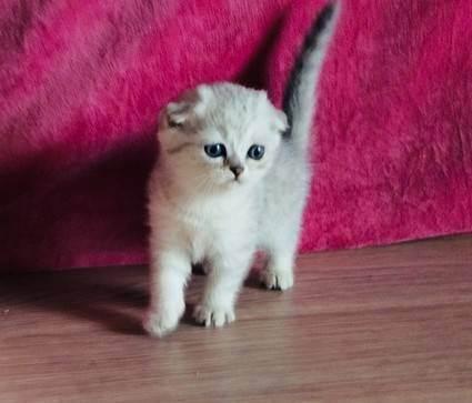 Чем кормить шотландскую кошку: готовые корма, советы по натуральному питанию и составлению рациона
