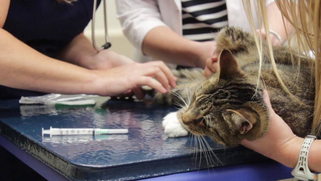 Нефрит у кошек: причины возникновения, симптомы, диагностика и лечение