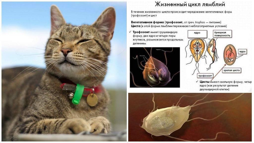 Лямблии у кошек: пути передачи, диагностика и лечение
