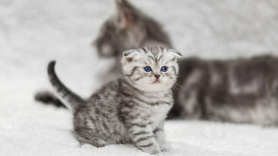 Какие клички для котов британцев самые удачные