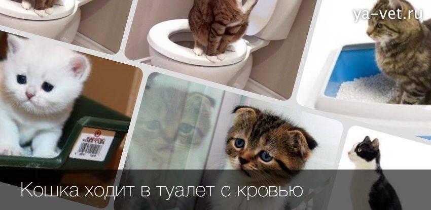 Что делать, если кот ходит в туалет по маленькому с кровью?