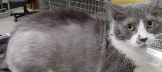 Алопеция у кота лечение