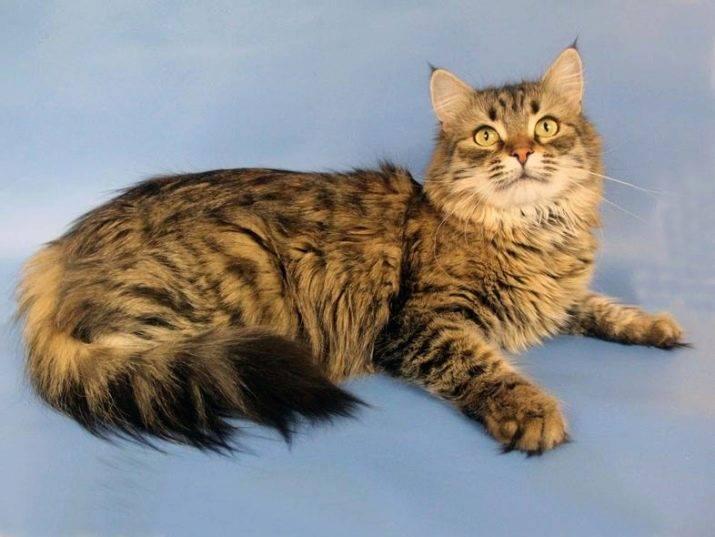 Топ-6 пород кошек с кисточками на ушах: питомцы с экзотической и дикой внешностью поражают красотой, фото и видео