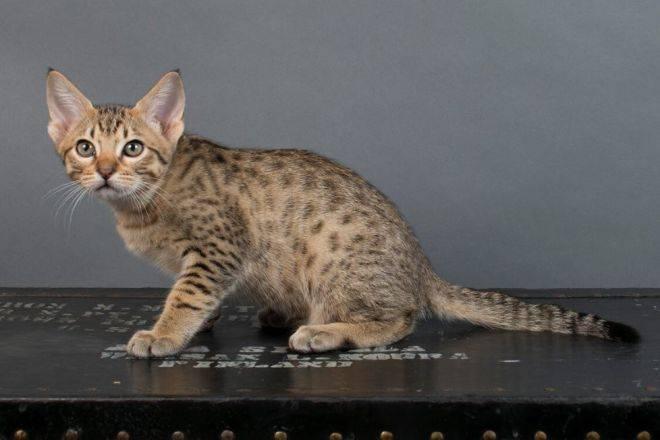 Кошки-малышки — особенности карликовых пород