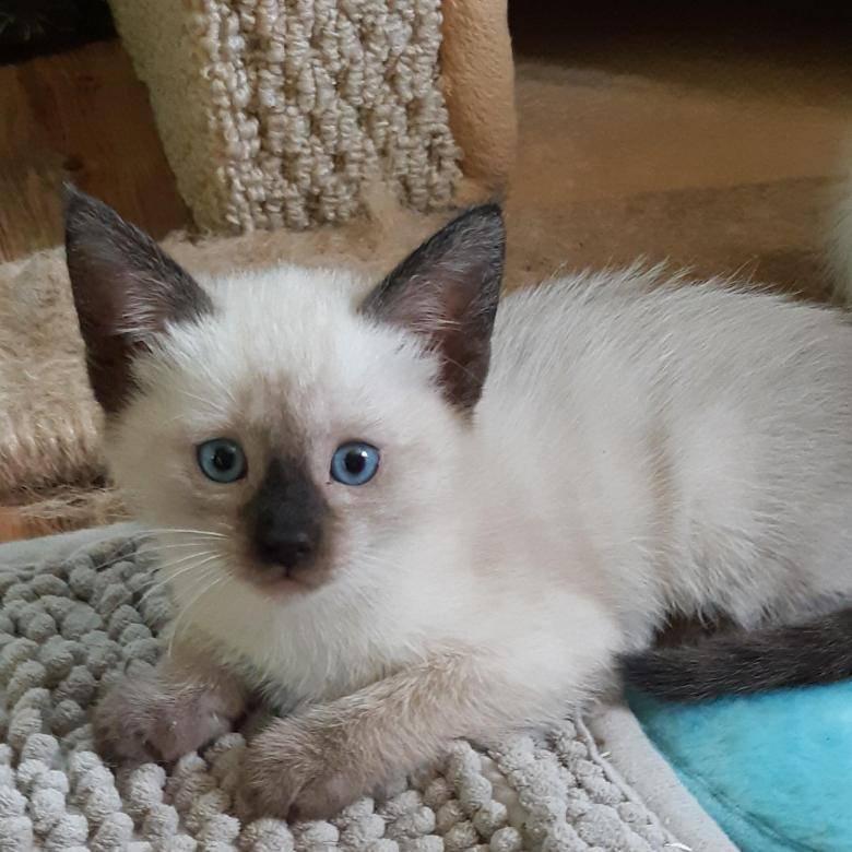 Сколько сегодня стоит сиамская кошка в россии