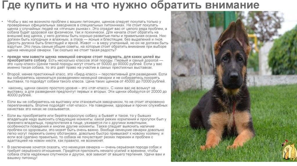 Кеесхонд собака. описание, особенности, уход и цена породы кеесхонд