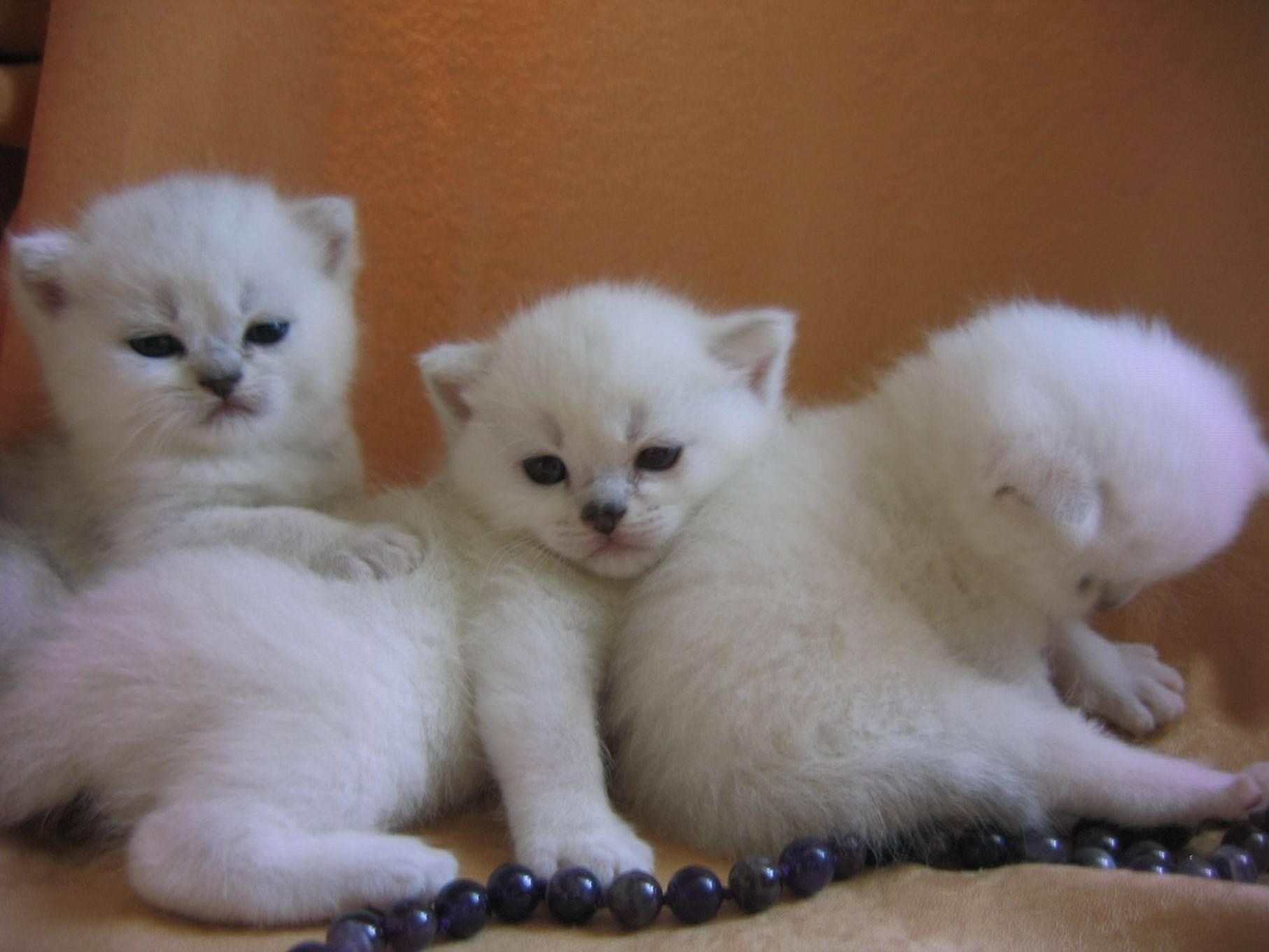 Вязка бенгальской породы кошек: как получить здоровое потомство