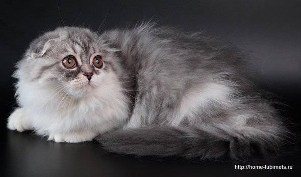 О породе кошек хайленд фолд