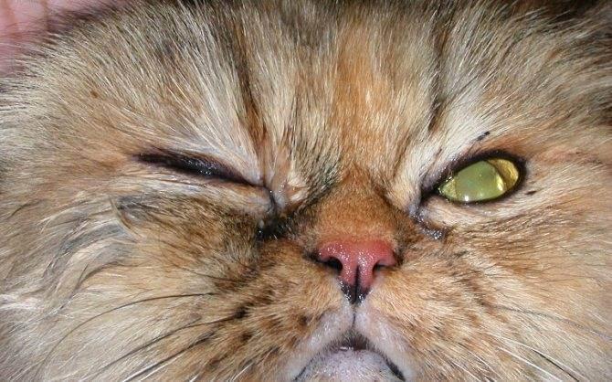 Слезятся глаза у кошки. чем промыть кошке глаза