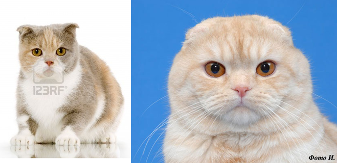 Когда опускаются ушки у шотландских котят – как определить правильные ушные раковины?