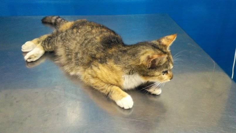 Симптомы и лечение вирусного перитонита у кошек