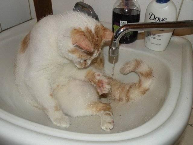 Почему кошки часто умываются, зачем котята и взрослые коты постоянно моются?