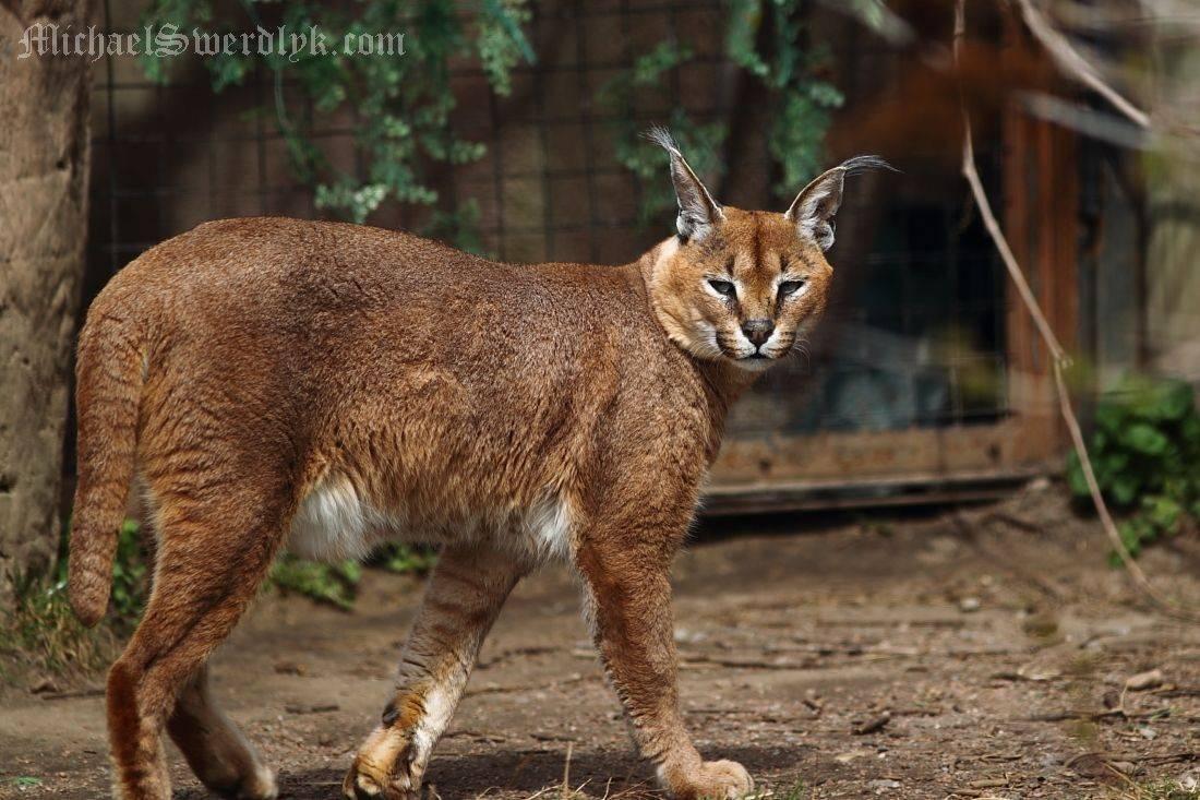 Кошки с большими ушами: обзор самых популярных пород