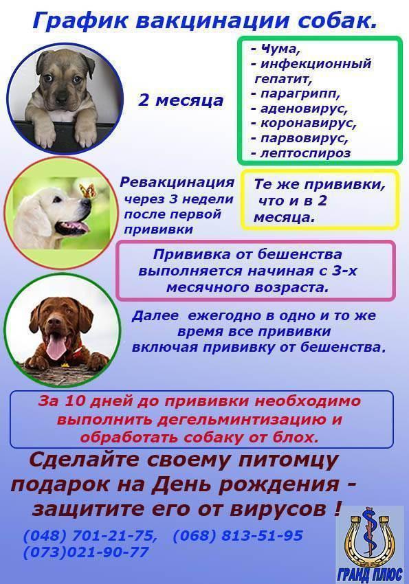 Когда и какие прививки делать собаке - сроки прививок и вакцинации собак по возрасту
