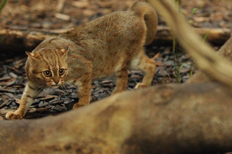 Рысь - виды, особенности, повадки, описание, внешний вид и интересные факты