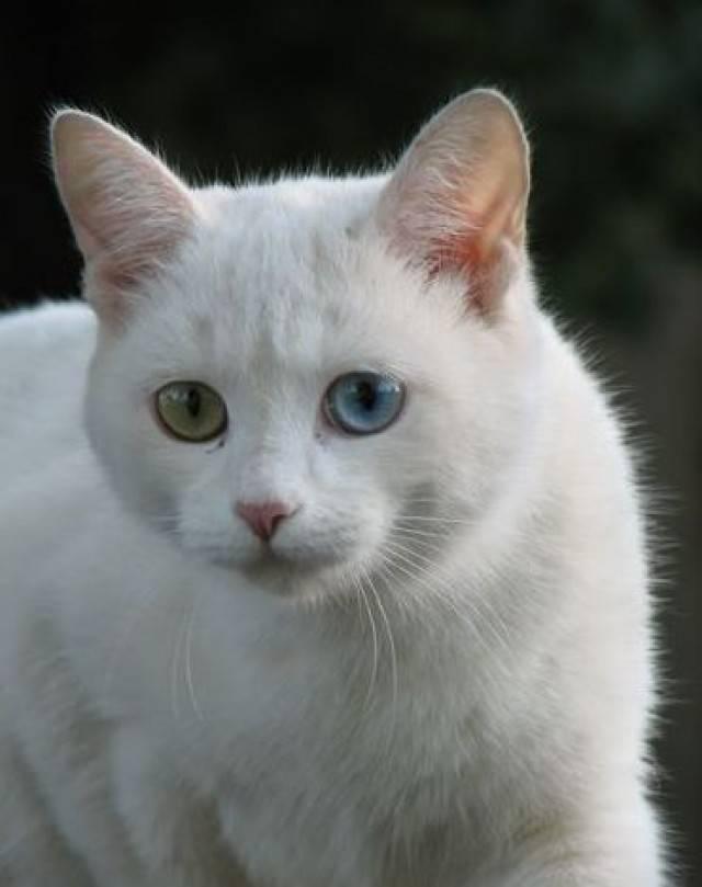 Породы белых кошек: список с фото и названиями | сайт «мурло»