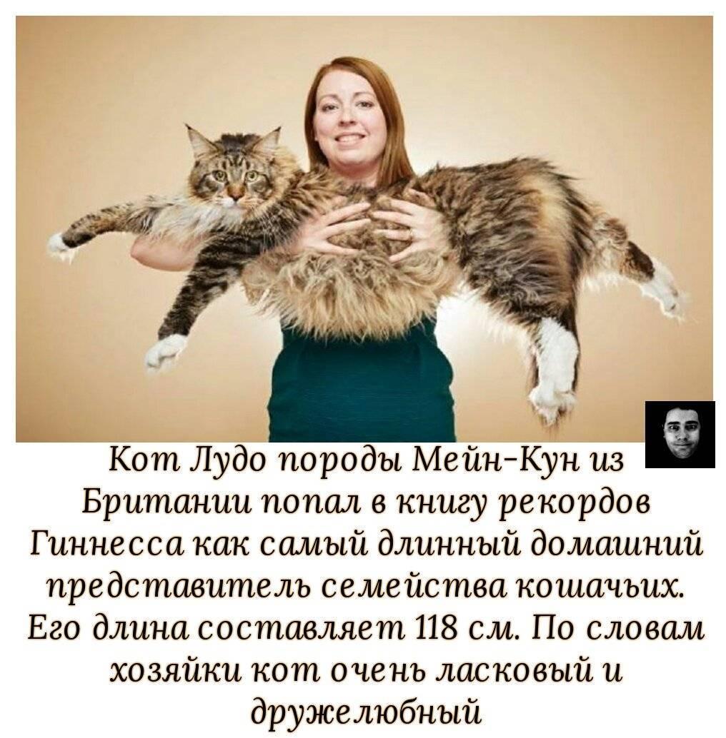 Самый большой кот в мире в книге рекордов гиннеса