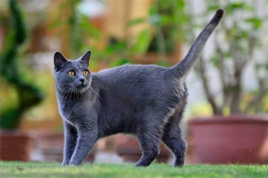 Шартрез кошка. описание, особенности и уход за кошкой шартрез