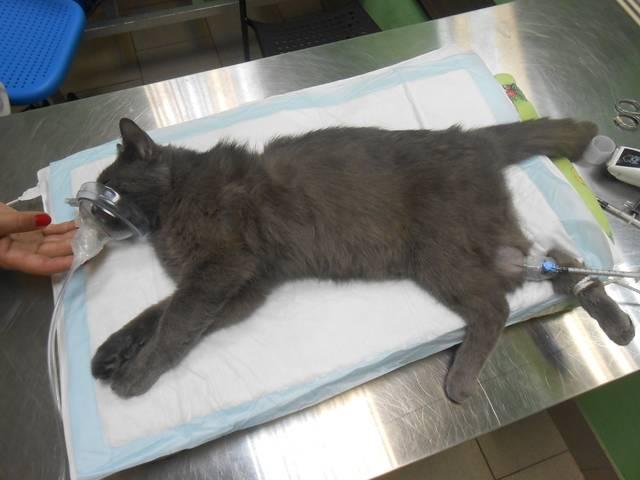 Сколько проживет кастрированный кот