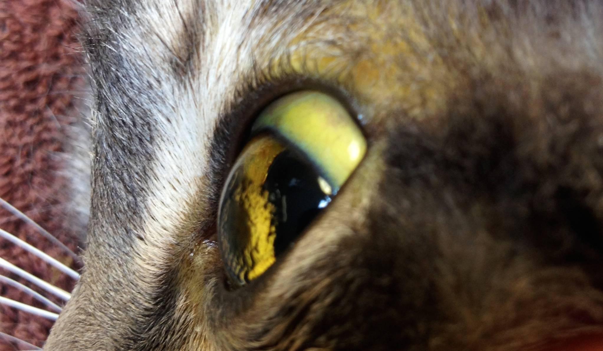 Чем кормить кошку с больной печенью