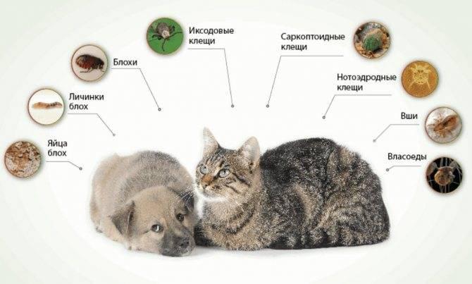 Чем можно заразиться от кошки человеку: симптомы болезней