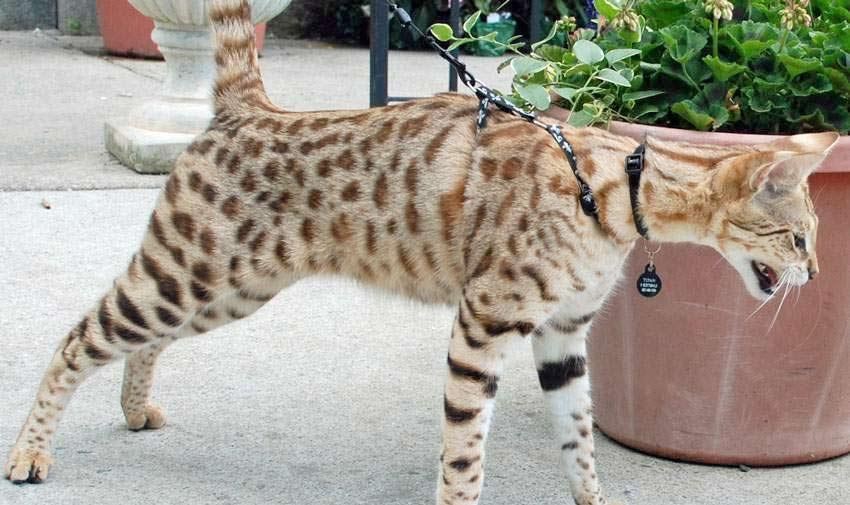 10 самых опасных пород кошек и котов в мире | топ-10, какие