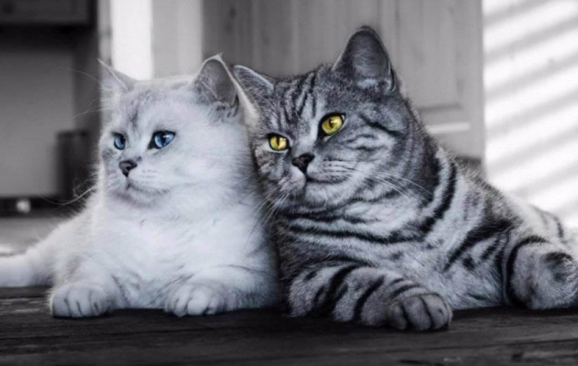 Британский котик....(брать ли взрослого кота) - запись пользователя ирина...= (id774527) в сообществе домашние животные в категории помогите советом - babyblog.ru