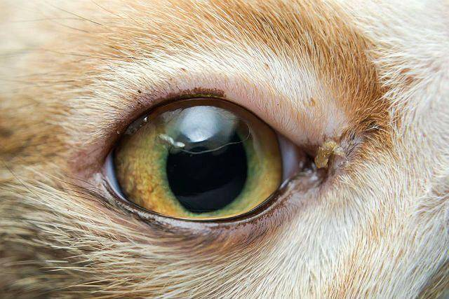 Хламидиоз у кошки: симптомы, лечение