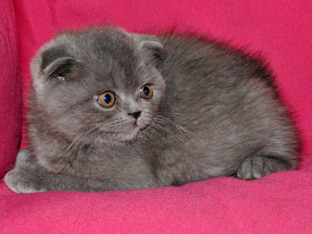 Клички для шотландцев: 500 имен котов и кошек, вислоухие и прямоухие