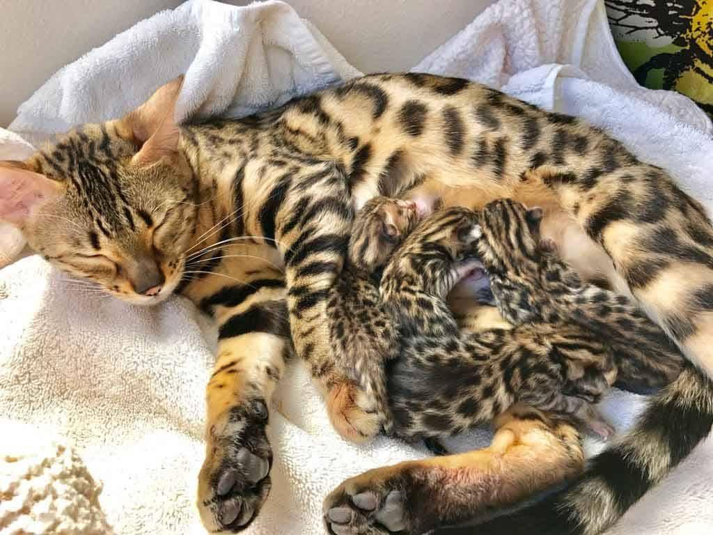 Во сколько лет рожают кошки