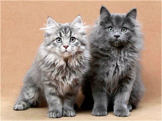 Сибирские кошки: описание породы, характер животного, цены на котят