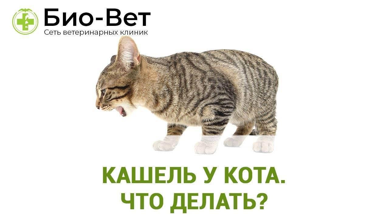 Глухой кашель у кошек