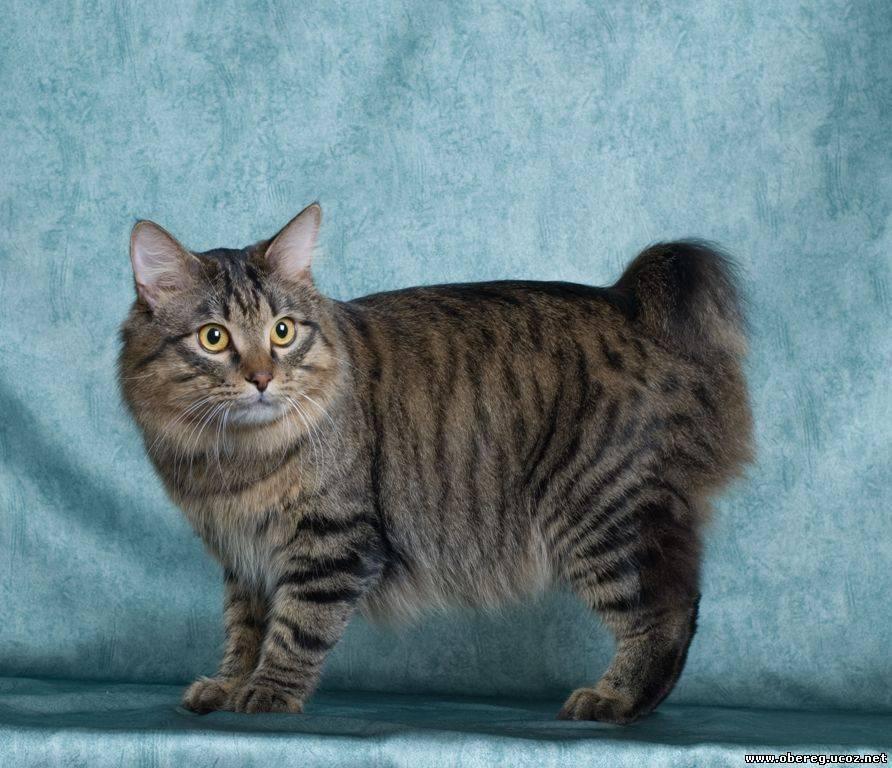 Породы котов с длинным хвостом: описание и фото | кот и кошка