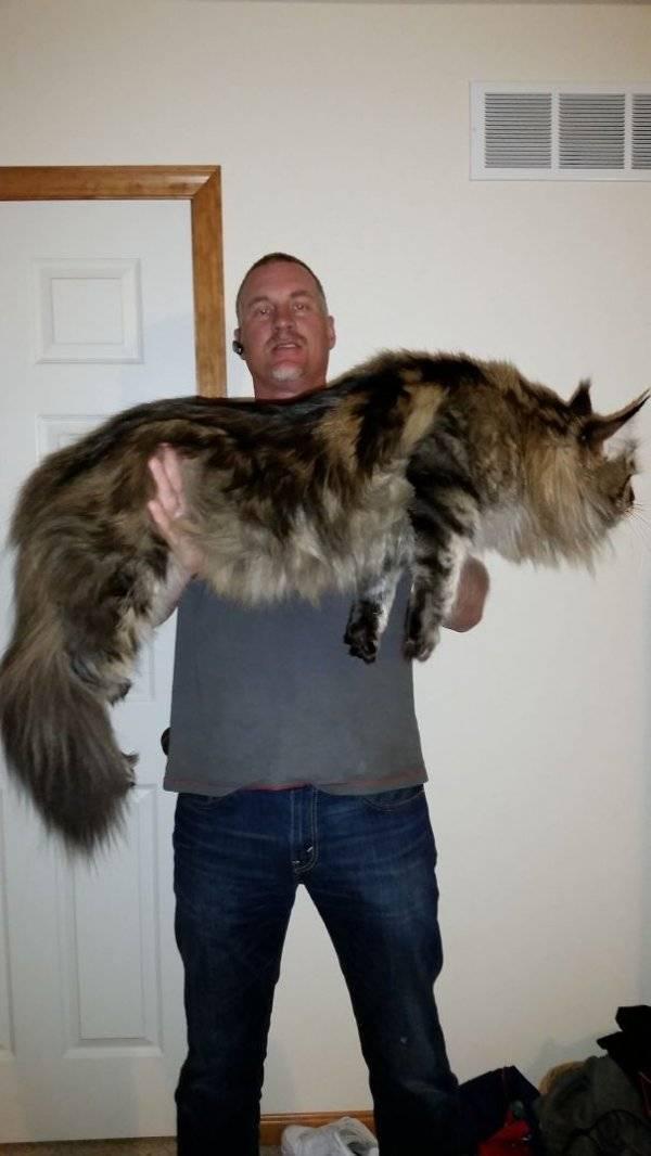Большие кошки породы мейн-кун