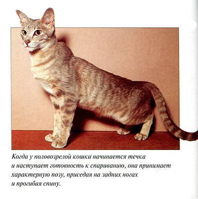 Признаки течки у кошки и что должен делать хозяин в этот период?