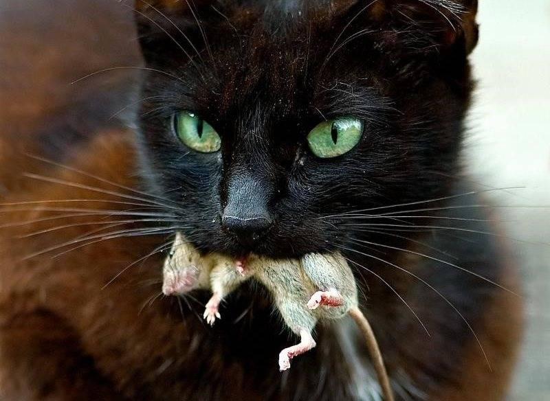 Что делать, если кот съел отравленную мышь отравление.ру что делать, если кот съел отравленную мышь
