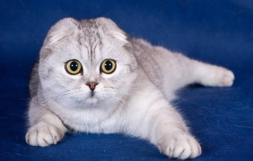Клещ ушной у вислоухого кота. - коричневый налет в ушах у вислоухого котенка - запись пользователя prosto-la (prosto-la) в сообществе домашние животные в категории кошки. болезни, прививки, советы по уходу - babyblog.ru