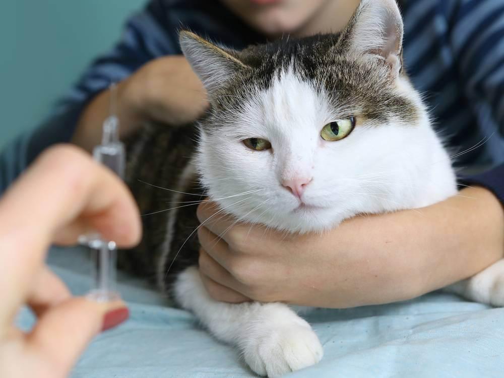Инсульт у кошки: симптомы, что делать, лечение, причины