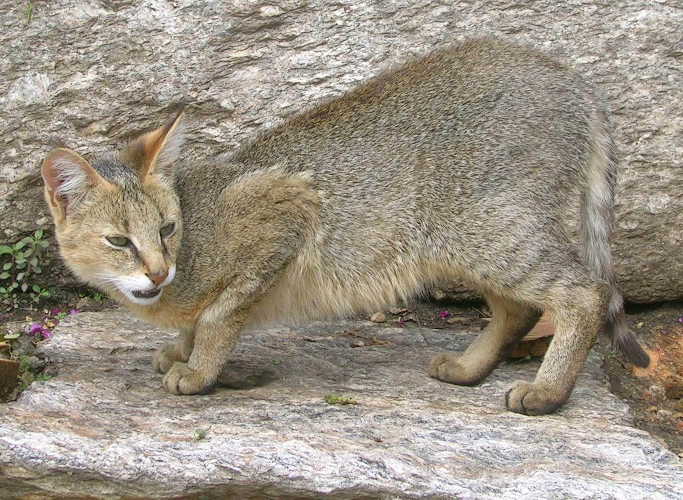 Особенности камышовых котов, их описание, фото и цена