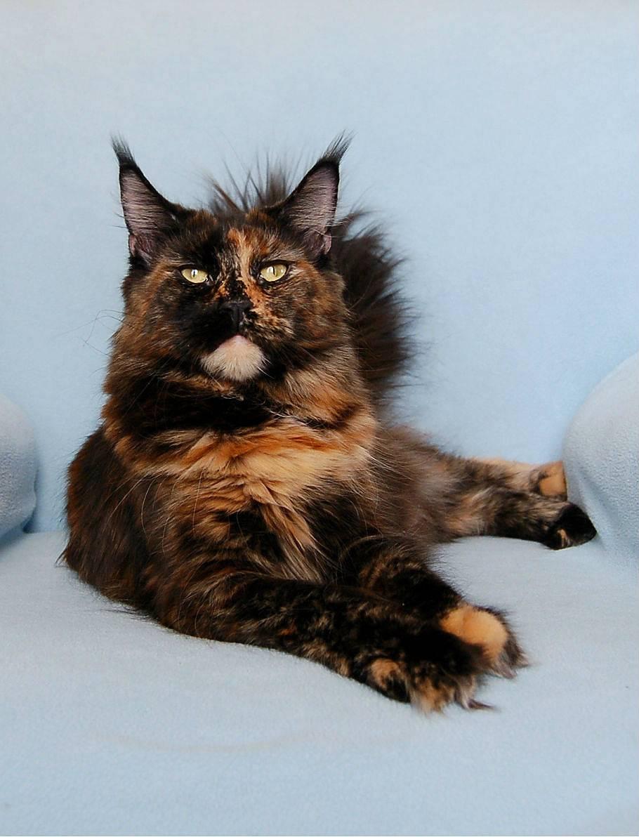 Котенок мейн-кун в 4 месяца: фото и видео, вес, чем кормить.