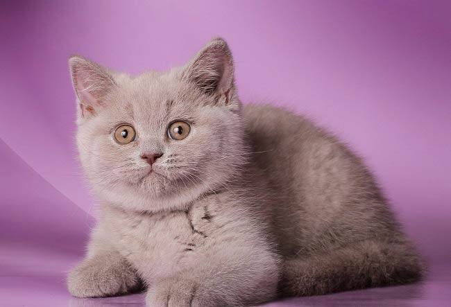 Британская шиншилла: кошка с роскошным окрасом и благородными манерами