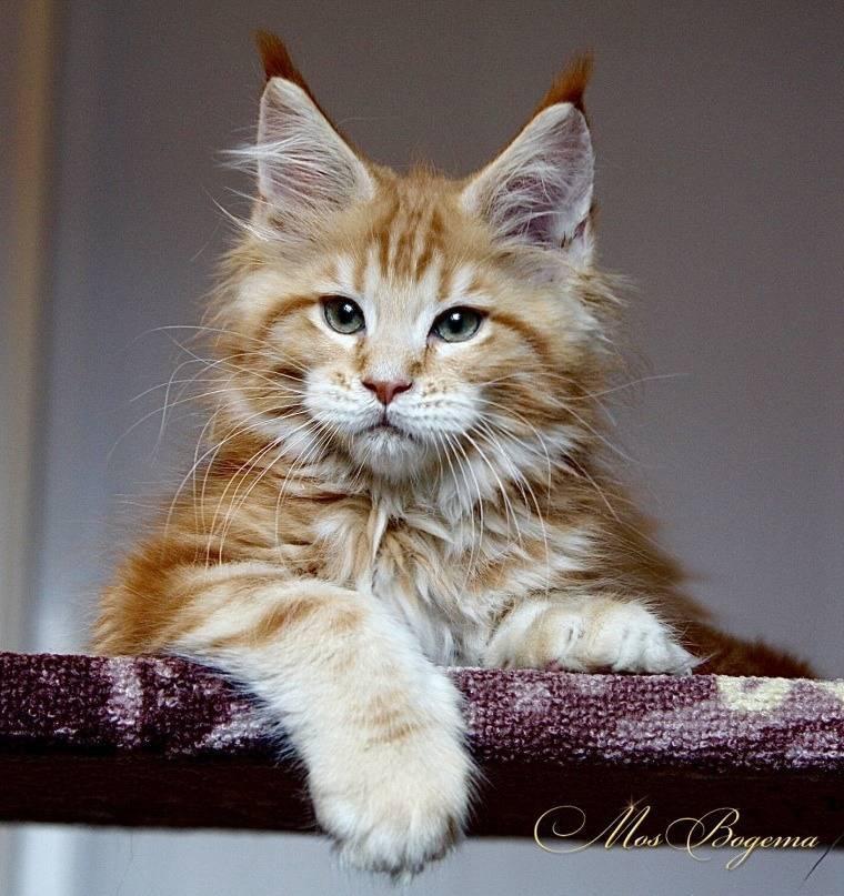 Характер кошек породы мейн-кун