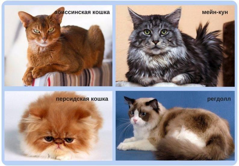 Кардиомиопатия у котов и кошек