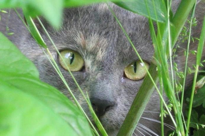 Очень сильно лезет шерсть у британской кошки. шотландская кошка линяет: в чем причина и что делать